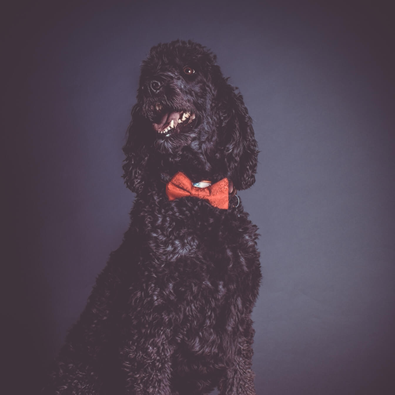 Braintrust Team Member Georgie Golden Doodle